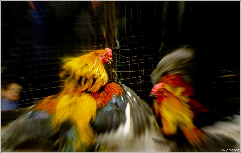 Asupan Gizi Ayam Adu