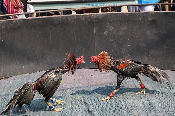 Macam-macam Makanan yang Tidak Disarankan untuk Ayam Sabung