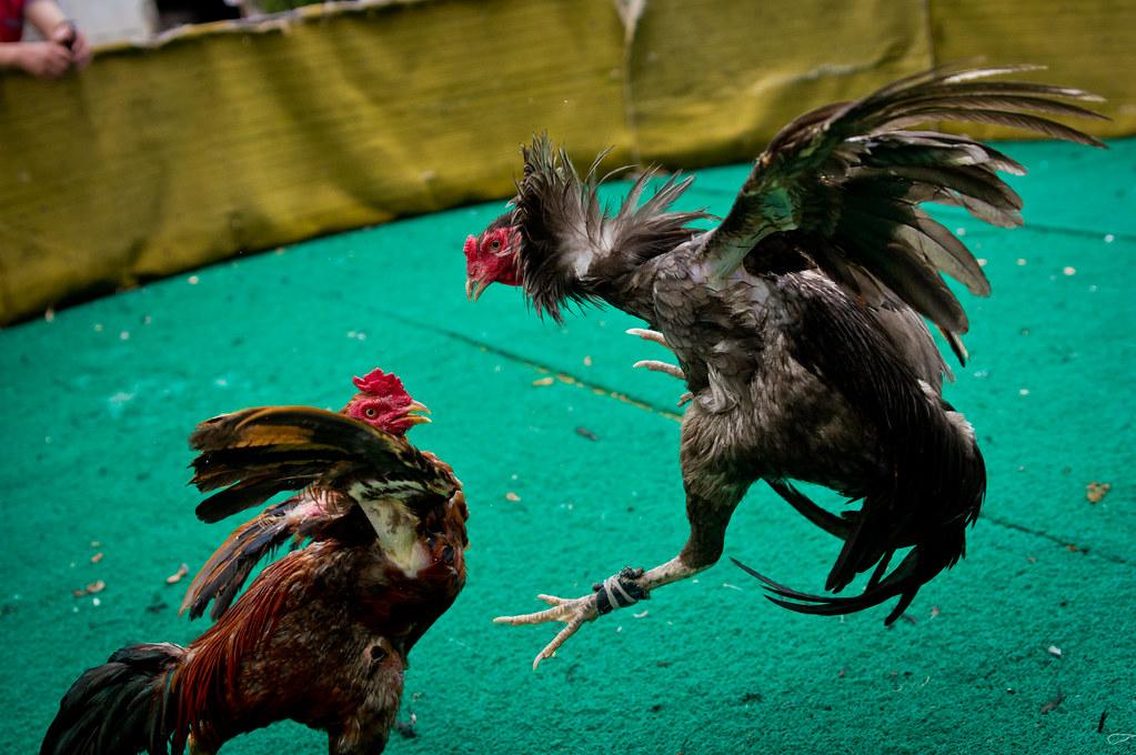 Berapa Harga Ayam Petarung Dalam Judi Sabung Ayam S1288?